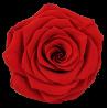 Eeuwige rozen